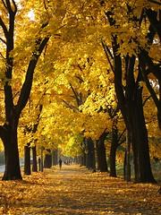 złoto jesieni (ela_s) Tags: autumn canon gold krakow explore s90 jesień alwaszyngtona gettyimages136268187