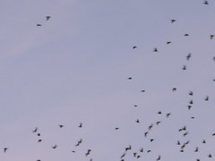 gli storni vanno via