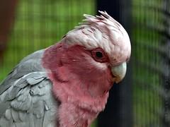 Galah / Ros Kakatoe (Rick & Bart) Tags: bird planckendael vogel galah smrgsbord eolophusroseicapilla rosebreastedcockatoo botg rickbart thebestofday gnneniyisi rickvink roskakatoe