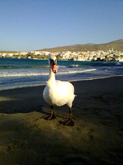 another swan in the beach (dimitra_milaiou) Tags: world life city blue houses light shadow sea sky sun white beach nature water animal architecture swimming swim landscape island greek happy one 1 nokia swan europe day waves alone peace afternoon shadows view dream aegean hellas happiness dreaming greece hora planet lonely emotions chora andros cyclades dimitra hellenic x6  kyklades   aigaio    milaiou   dimitramilaiou