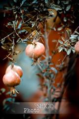 Autumnal Pomegranate (2ins mama) Tags: pomegranate autumnal