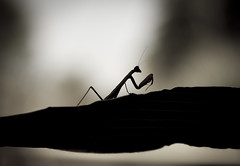 pray (Minghua Nie) Tags: light shadow macro canon bug mantis insect pray praying 100mm madness usm f28 nie disclaimer minghua