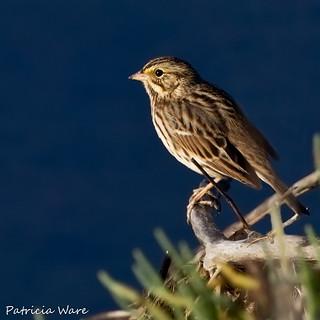 Savannah Sparrow in Morning Light