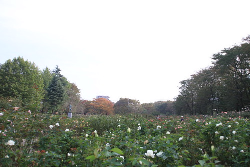 Autumn Rose at Yono park