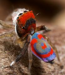 _MG_1621 peacock spider Maratus splendens (Jurgen Otto) Tags: spider arachnid australia jumper jumpingspider splendens peacockspider maratus macrolife