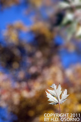 Lone Leaf No 01 (H.D. Osorno) Tags: autumn trees usa blur color fall leaves digital leaf unitedstates bokeh pennsylvania pa handheld eos350d digitalrebelxt penna digitalphotography 2011 manualexposure visiblelight cranberrytownship tamronaf18250mmf3563diiildasphericalifmacro