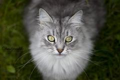 Bas (Dankjewelske) Tags: cats green animal cat garden fur outside nose grey eyes ears whiskers catmoments