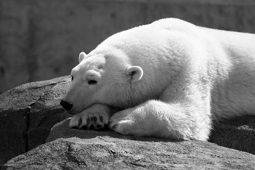 PolarBear Alaska Zoo by John Gomes.jpg