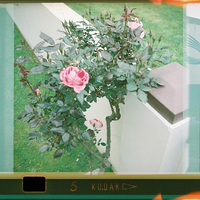 126-5_rose