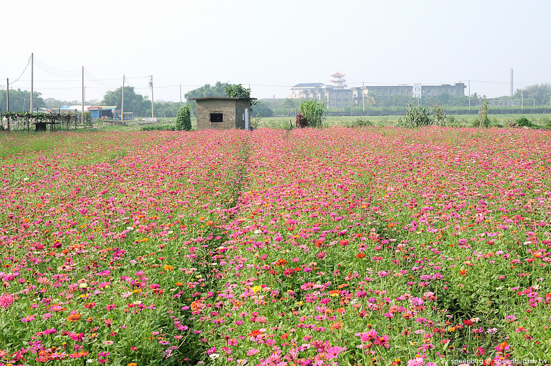橋頭花海 (11)