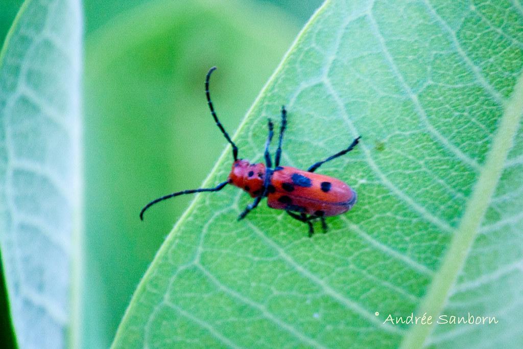 Red Milkweed Beetle (Tetraopes tetrophthalmus) -1.jpg