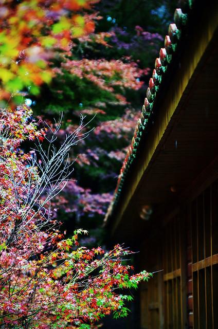 2011秋~福壽山楓葉行
