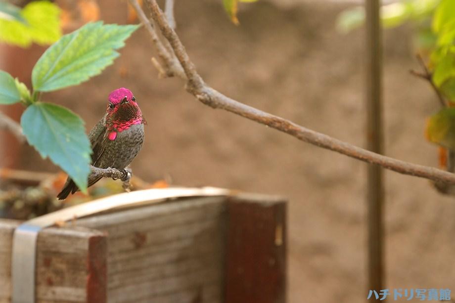 Anna's Hummingbird 111611
