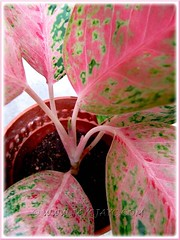 Aglaonema cv. Legacy - a tiny tip bud emerged 3 weeks later, assuring successful propagation. Shot Nov 7 2011