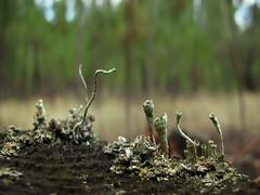 Sky Line * Cladonia (jacilluch) Tags: macro musgo verde moss lquenes cladonia vasculares micologia cryptogam criptgama cladoniaconiocraea podecios apotecios escifos