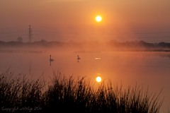 Sunbathing (explored #24) (aNNaj) Tags: morning red sun mist water fog sunrise swans rood zon drenthe ochtend zwanen zonsopkomst pesse reflectionswan boerveenseplassen reflectiezwaan