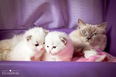 Zucca and her babies (fofurasfelinas) Tags: baby cat kitten kitty kittens gata neko ragdoll fofurasfelinas gianeportal