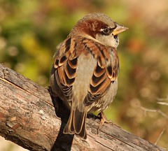 Beautiful but underappreciated: the sparrow (Ducklover Bonnie) Tags: sparrow img6895 avianexcellence