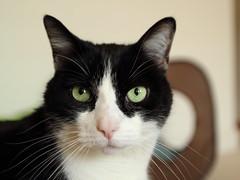 Oliver's Green Eyes (Mr.TinDC) Tags: cats pets cute animals cat feline oliver kitty tuxedocats greeneyes kitties tuxedocat blackandwhitecats blackwhitecats