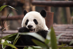 CHINA Sichuan Province Chengdu Sichuan Giant Panda Sanctuaries Chongquing Tour 3166 AJ20