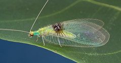 Semachrysa jade new lacewing species  - IMG_0161 merged copy (Kurt (Hock Ping Guek) orionmystery.blogspot.com) Tags: lacewing neuroptera orionmystery upclosewithnature semachrysa hockpingguek guekhockping