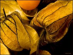Physalis (helenabraga) Tags: brasil fruit bravo fruta helena physalis helenabraga anawesomeshot flickrdiamond