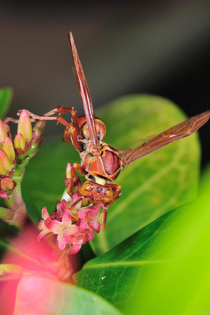 褐長腳蜂 Polistes tenebricosus
