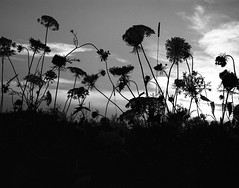 . (✪ patric shaw) Tags: film hogweed mamiya7 patricshaw