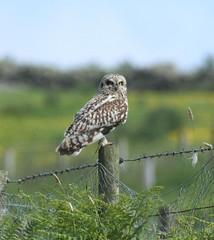 Watching you, watching me!!! (Jacqui Herrington:) Tags: bird scotland angus wildlife glen series prey shortearedowl asioflammeus