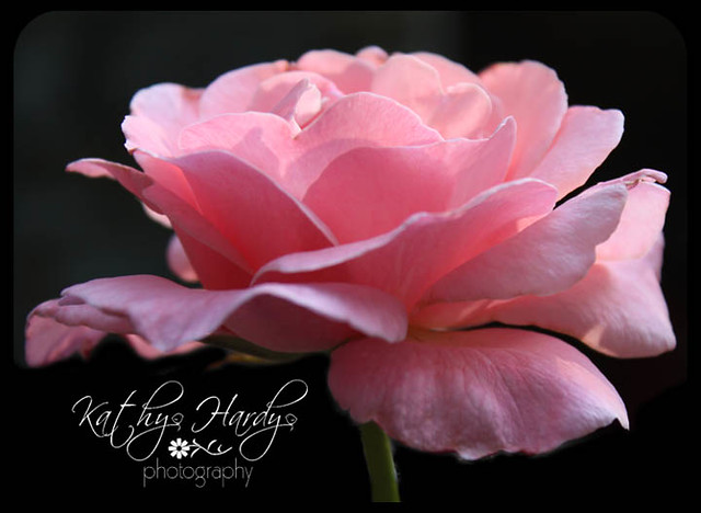 Nature's Finest - Gorgeous Pink Rose!!!