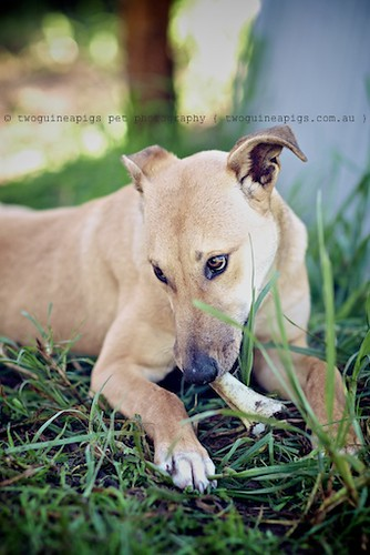 Bugsy 9 month old Kelpie x Whippet AWDRI Star Dog photographed by twoguineapigs Pet Photography, pet portraiture, dog photographer in Sydney.
