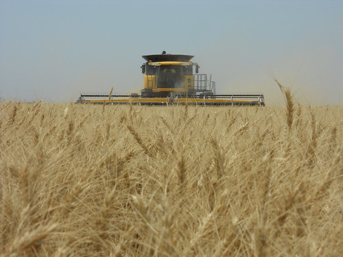 In the wheat