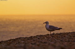 Sunset Seagull (Richard Beech (rdb75)) Tags: sunset sun nature canon portland evening seagull gull pebbles dorset chesilbeach chesil richardbeech rdb75