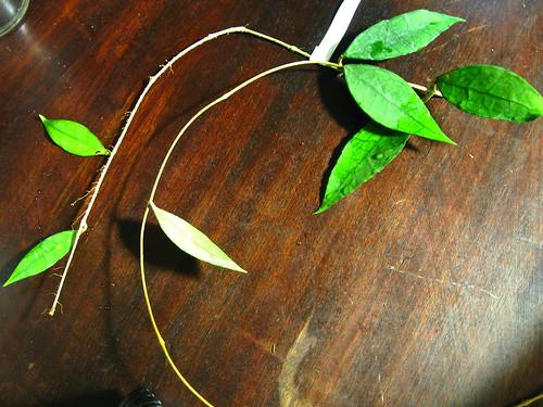 Hoya sp. Thailand (IML 1420)