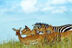 IMG_5622 (Vctor Bautista) Tags: africa parque wild big kenya five safari vida nacional bigfive amboseli elefantes salvaje