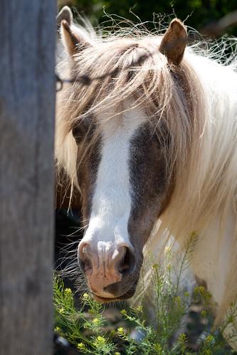 mini horse companions1 (1 of 1)