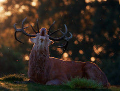 red deer stag (Tales From The Riverbank) Tags: 5 wildlife british