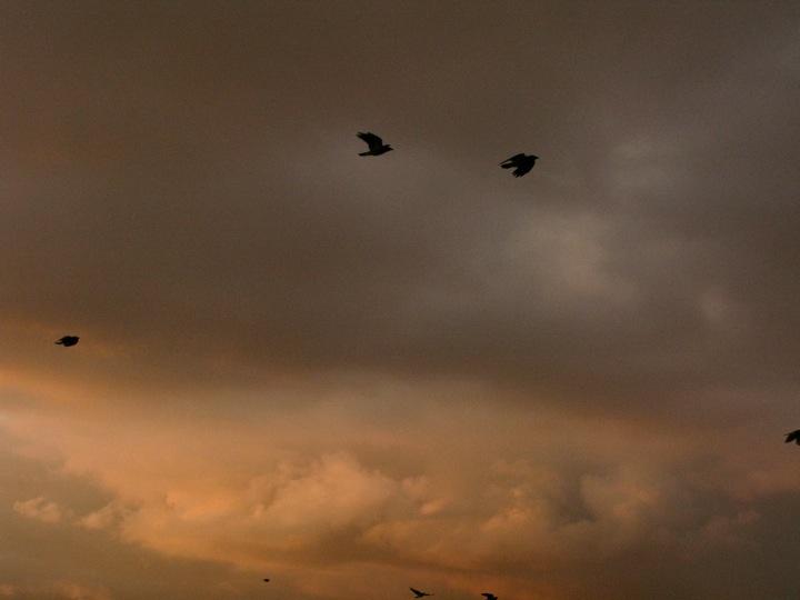 vancouver crow migration 004