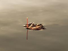 Floating away (Ramesh Kamath) Tags: autumn fall leaf lakesurface