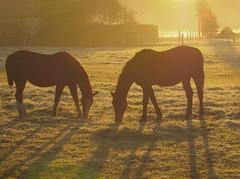 horses in morning light (Foto Dominic (OFF)) Tags: morning horses nature sunrise niceshot natuur soe ochtend paarden zonsopgang autofocus finegold shieldofexcellence flickrgoldaward flickrbronzeaward flickrsilveraward universalelite sailsevenseas doubleniceshot tripleniceshot mygearandme mygearandmepremium mygearandmebronze mygearandmesilver mygearandmegold mygearandmeplatinum mygearandmediamond fineplatinum finediamond fotodominic antromeda50