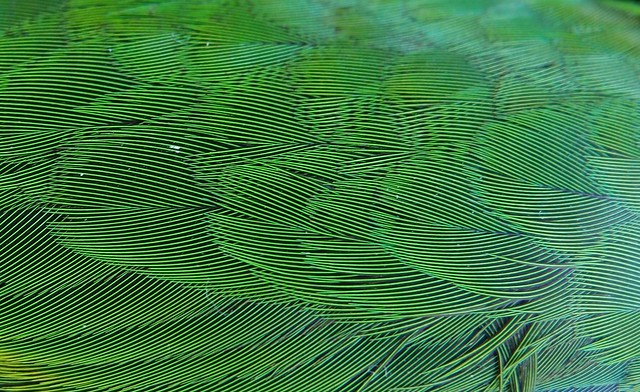 Dead Lorikeet (Parrot) - Green Feathers closeup