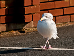 Best Foot Forward!!   (Herring Gull) (marsch1962) Tags: bird nature walking funny gull carpark purpose striding thewonderfulworldofbirds