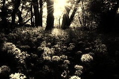 . (life outside the fish bowl) Tags: wood flowers trees light bw sunshine sepia woodland woods bn devon flare lowkey devonshire southhams westalvingtonwoods darrenfarmer lifeoutsidethefishbowl