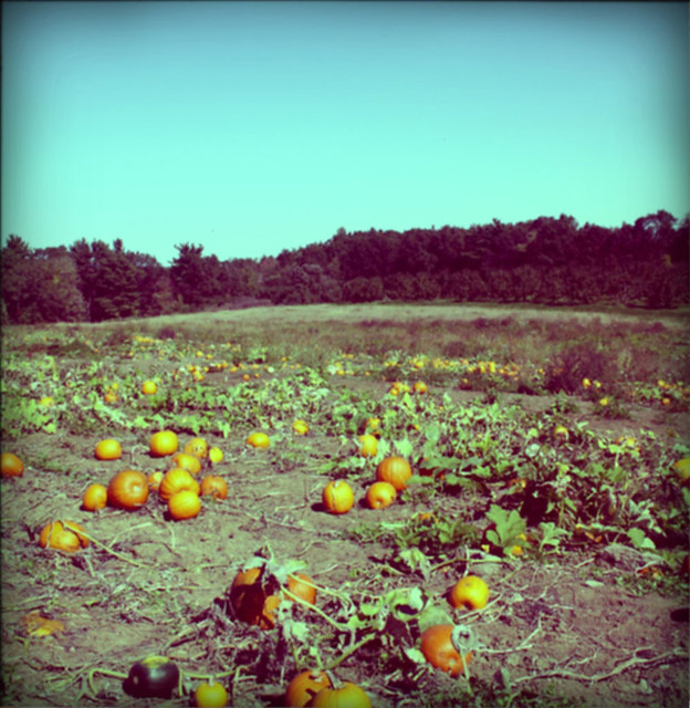 pumpkin patch at westward orchards in harvard, ma