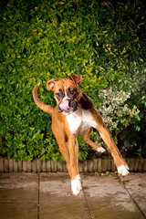 Air time (Danny Beattie) Tags: puppy george acrobat jumpingdog boxerpuppy