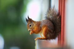 Orava (Timo Vehvilinen) Tags: autumn fall animal squirrel dof bokeh orava elin syksy redsquirrel sciurusvulgaris canonef135mmf2l