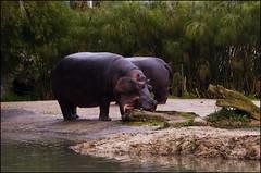 Auckland Zoo - Hippos