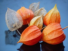 gleaning (hatschiputh) Tags: autumn red orange plant colour reflection fruit garden harvest dry physalis