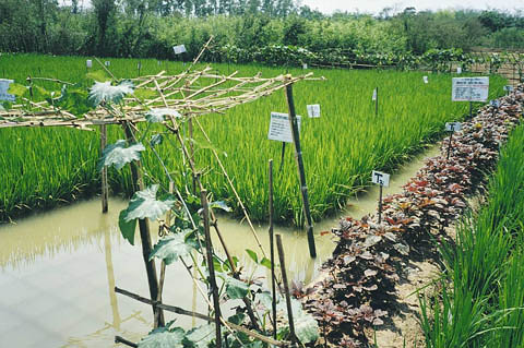 Rice-fish production, Bangladesh. Photo by WorldFish, 2008