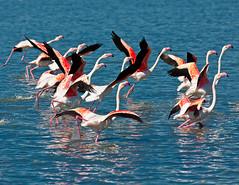 Flamencos I (jesusgag) Tags: fauna soe flickrstruereflection1 flickrstruereflection2 flickrstruereflection3 flickrstruereflection4 masterclasselite
